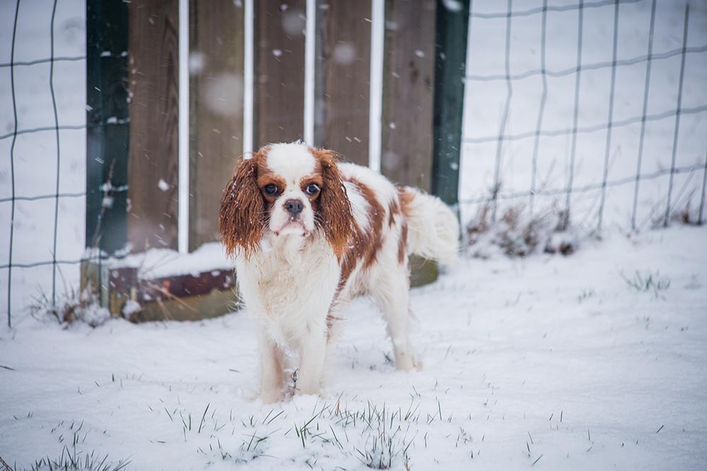 hondjes-sneeuw-7234-klein
